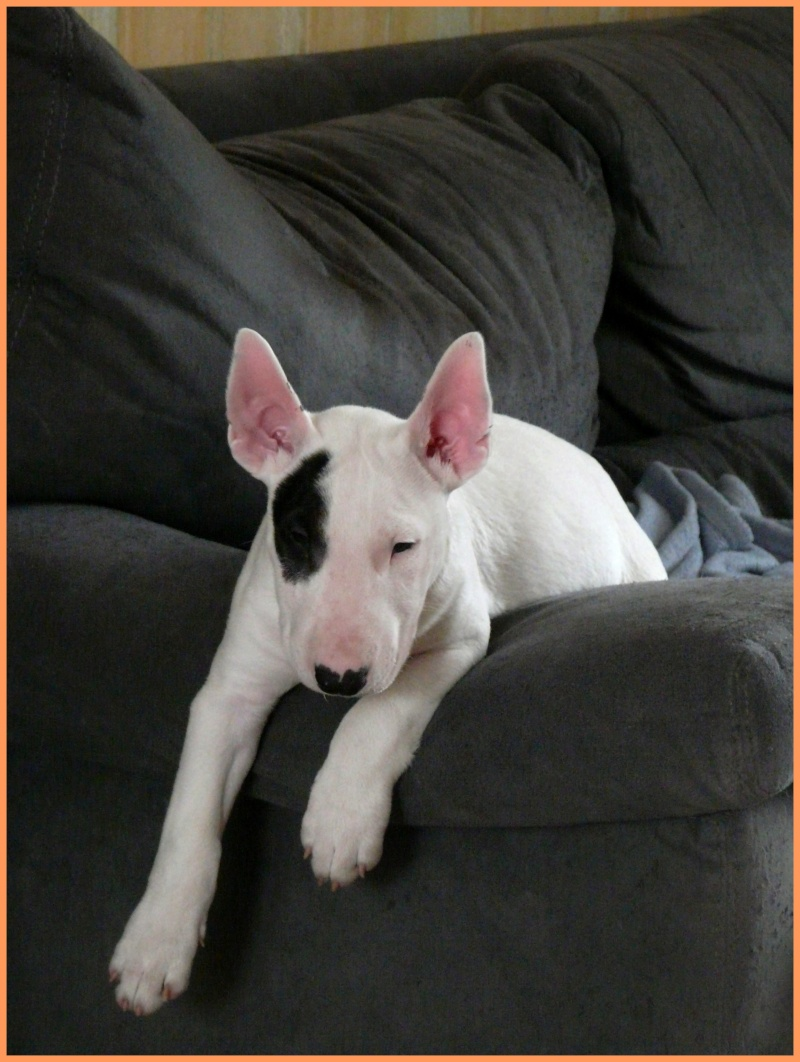 LE BULL TERRIER - Page 2 P1020750