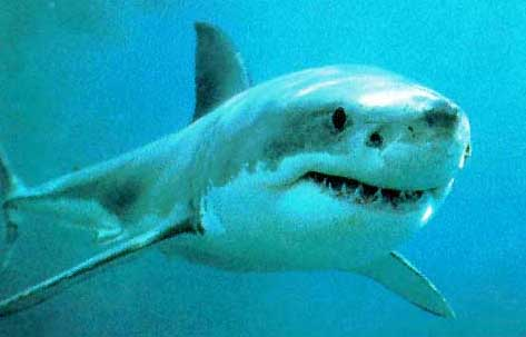 Naturalement Best Shark10