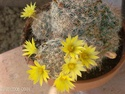 Some Mammillaria from Calabria Hpim2910