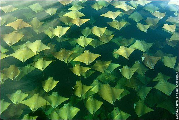 Mass Migration of Stingrays Att00011