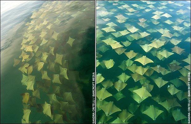 Mass Migration of Stingrays Att00012