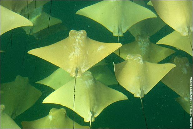 Mass Migration of Stingrays Att00013