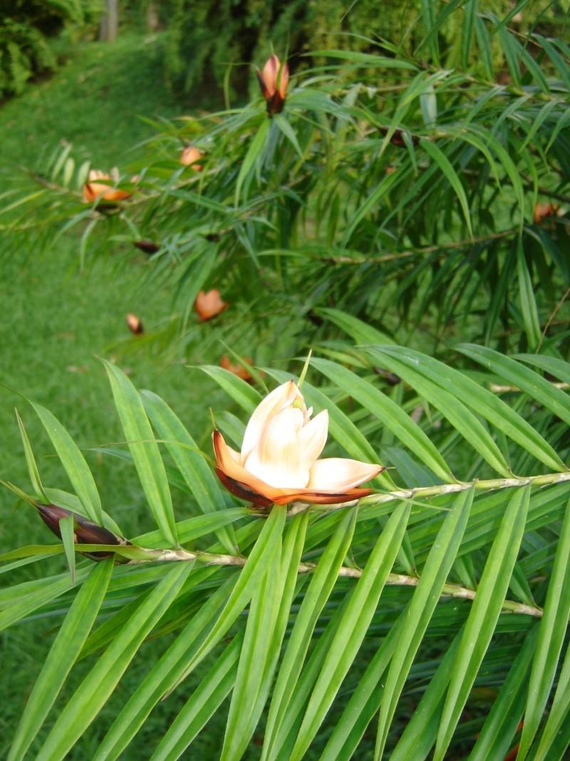 Freycinetia cumingiana , une belle pandanacée Dsc02810