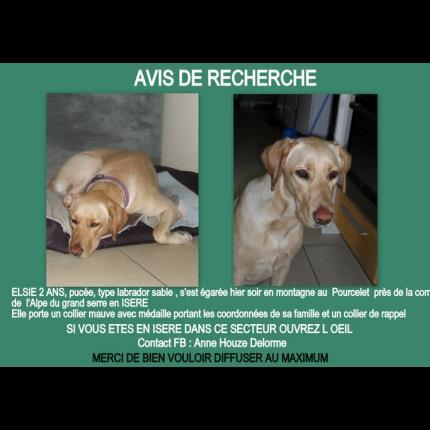 Elsi - Femelle Labrador sable - perdue Dépt 38 21508_12