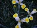 la deuxieme [Iris hollandica] Fleur_11