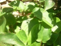 Kiwïs, pollinisation Photo_10
