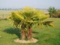 Bonjour, j'ai un fruit sur mon palmier .... Ssc_0210