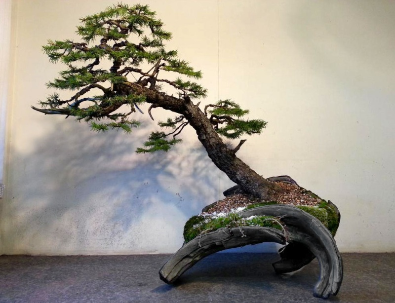 Rob Atkinson's Spruce (Picea Abies) in an Erik Križovenský pot Rob-po10