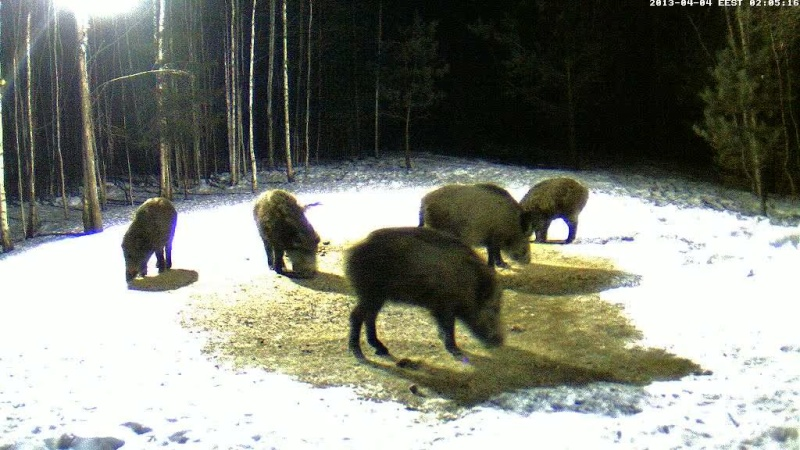 Boars cam, winter 2012 - 2013 - Page 31 Vlcsn139