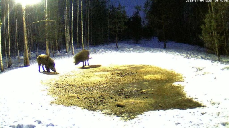 Boars cam, winter 2012 - 2013 - Page 31 Vlcsn142