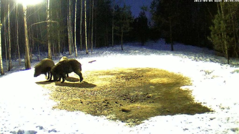 Boars cam, winter 2012 - 2013 - Page 31 Vlcsn143