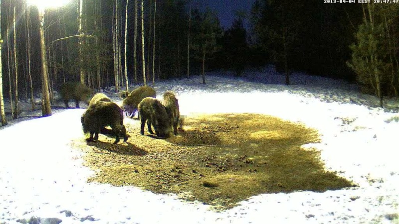 Boars cam, winter 2012 - 2013 - Page 31 Vlcsn144