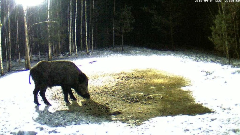 Boars cam, winter 2012 - 2013 - Page 31 Vlcsn145