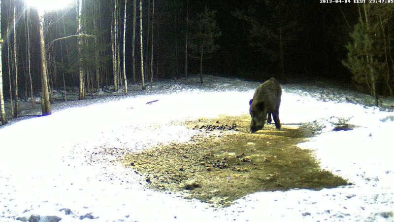 Boars cam, winter 2012 - 2013 - Page 31 Vlcsn146
