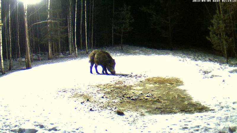 Boars cam, winter 2012 - 2013 - Page 31 Vlcsn149