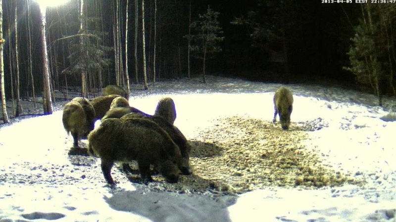 Boars cam, winter 2012 - 2013 - Page 31 Vlcsn151