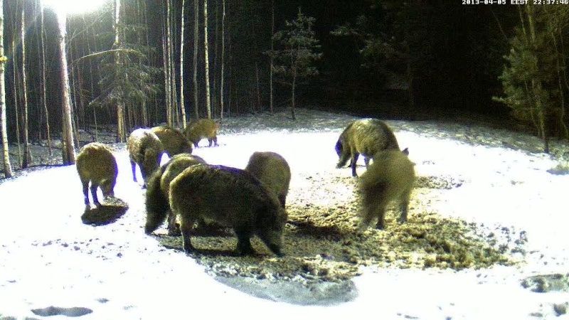 Boars cam, winter 2012 - 2013 - Page 31 Vlcsn152