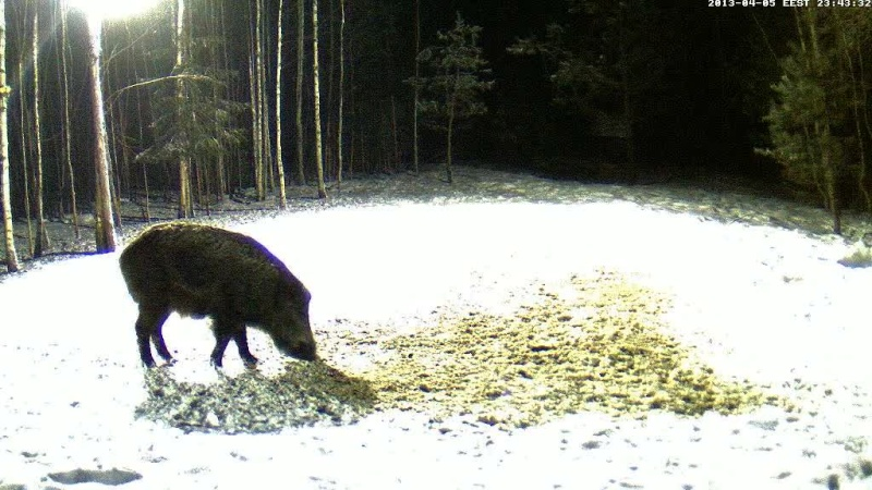 Boars cam, winter 2012 - 2013 - Page 31 Vlcsn155