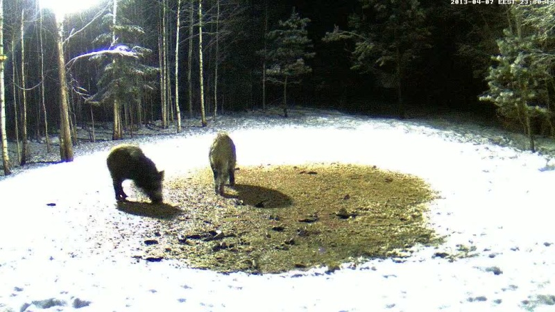 Boars cam, winter 2012 - 2013 - Page 32 Vlcsn162