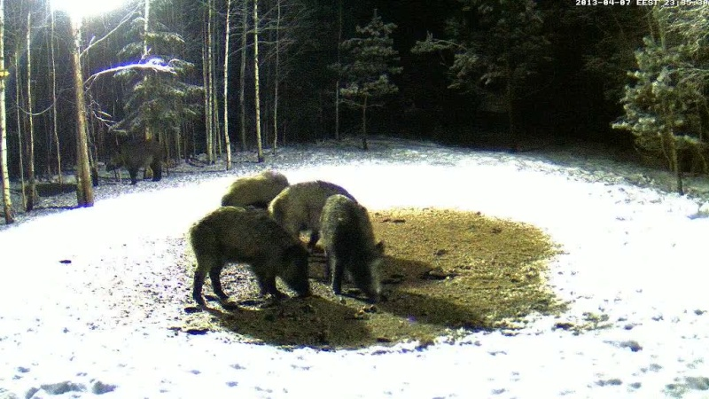 Boars cam, winter 2012 - 2013 - Page 32 Vlcsn163