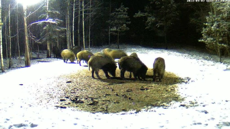Boars cam, winter 2012 - 2013 - Page 32 Vlcsn164