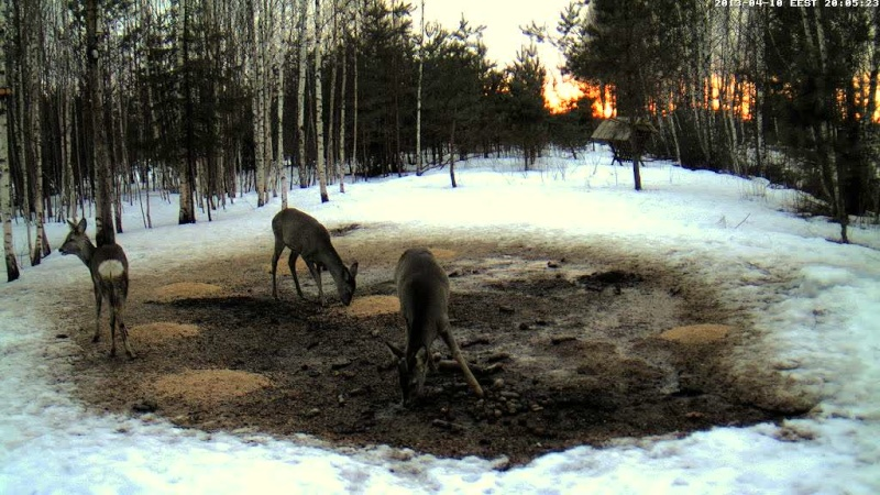 Boars cam, winter 2012 - 2013 - Page 32 Vlcsn171