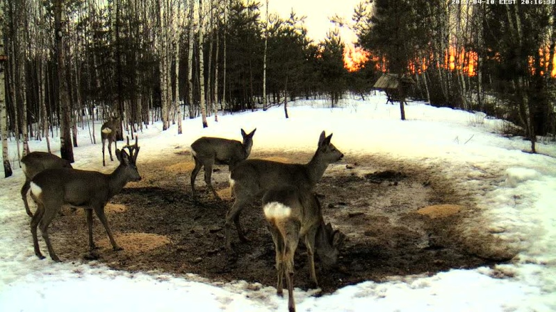 Boars cam, winter 2012 - 2013 - Page 33 Vlcsn174