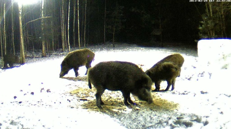 Boars cam, winter 2012 - 2013 - Page 18 Vlcsna32