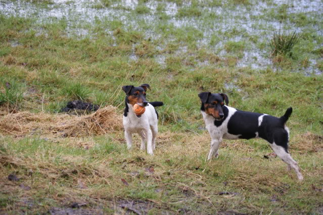 Daisy and George 17month old JRT's Dsc07910