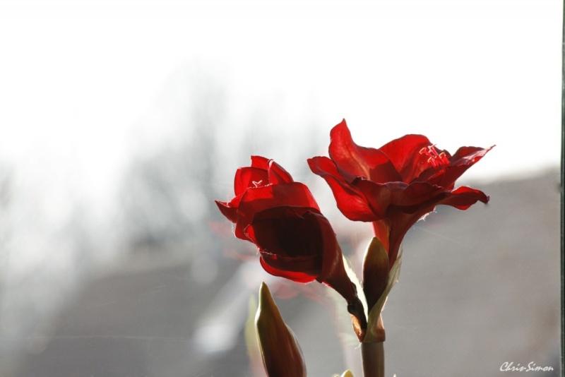 Fleur en pseudo macro _mg_0710