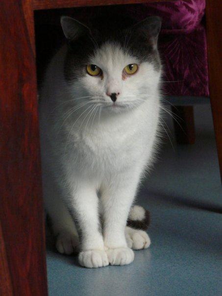 HYPPOLITE - chat mâle blanc et tigré- 2008 - tatoué GMJ476 (35) Hypoll10