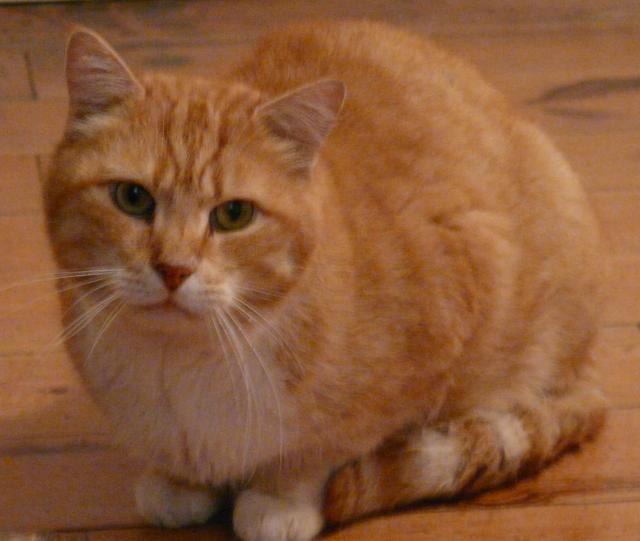 URGENT - MINOU - chat roux - 6/8 ans FIV positif - vit seul dans une maison (35) Minou10