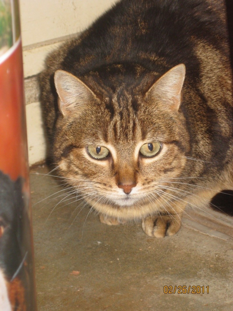 EPICE-  chatte tigrée tricolore - mai 2005 - tatoué  FSU941 ( spa d'armor - 35) Tmp00123