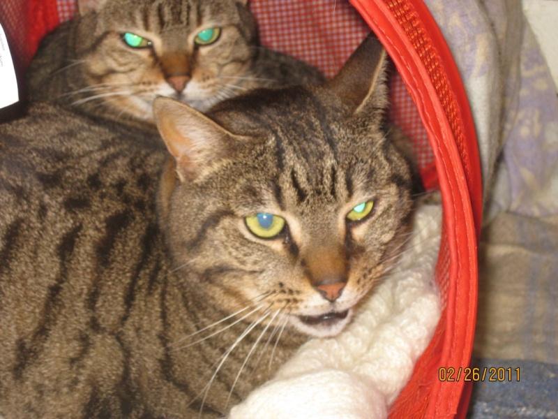 CASSY - chatte tigrée - avril 2010 -  tatouée : GFA962 ( spa d'armor - 35) Tmp00127