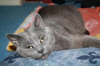 Cybèle, très jolie femelle grise, 6 ans environ - ROUBAIX Encore10