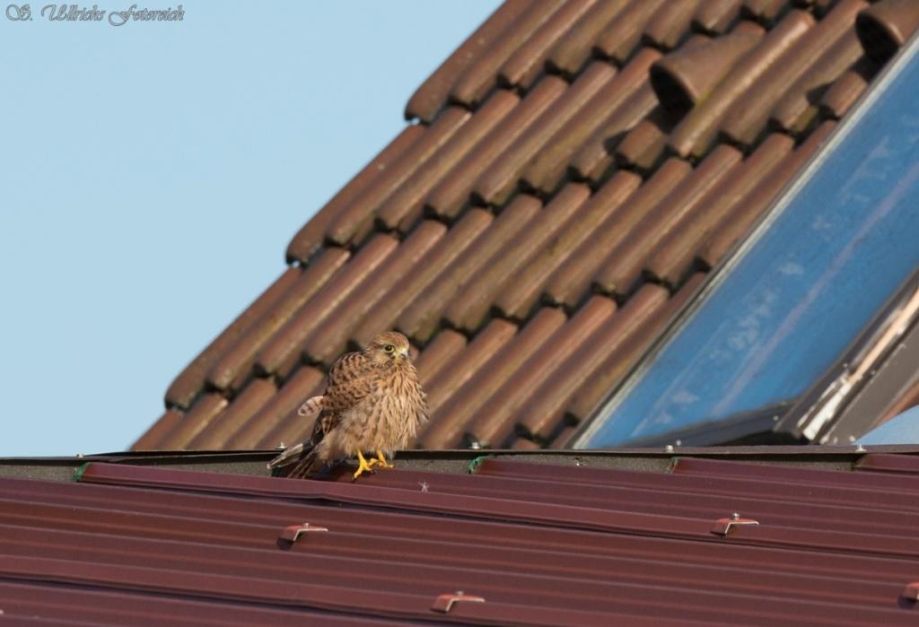 Es vögelt in meinem Garten! - Seite 2 1_1_vo12