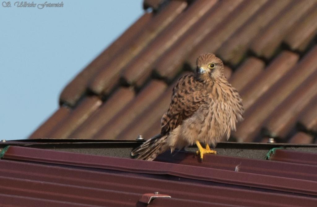 Es vögelt in meinem Garten! - Seite 2 1_1_vo13