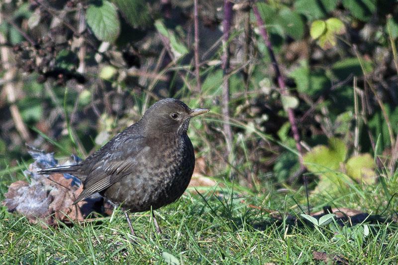 Oiseaux d'hiver 2010-2011 : pierre_57 _mg_3012