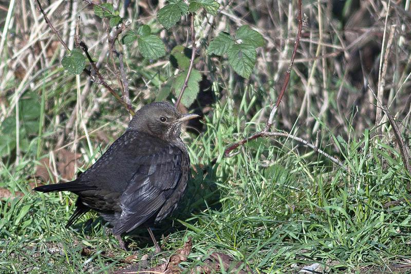 Oiseaux d'hiver 2010-2011 : pierre_57 _mg_3112