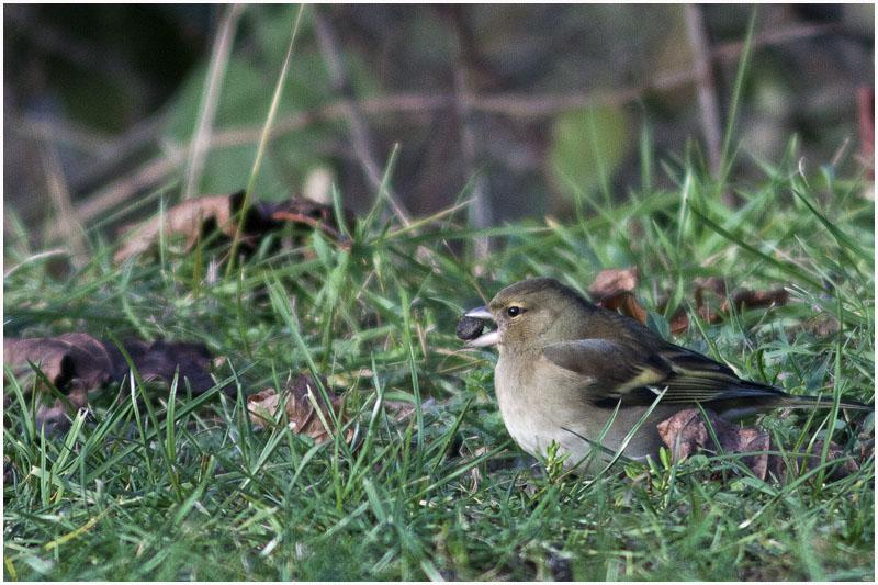 Oiseaux d'hiver 2010-2011 : pierre_57 _mg_3113
