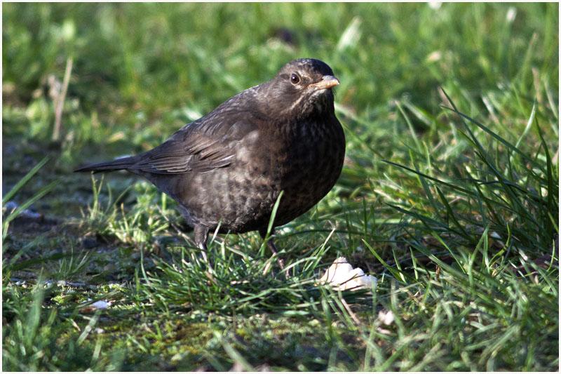 Oiseaux d'hiver 2010-2011 : pierre_57 _mg_3114