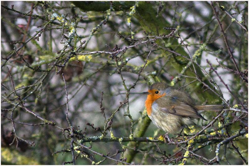 Oiseaux d'hiver 2010-2011 : pierre_57 _mg_3115