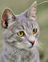 Skypaw : RiverClan Cat Gray_t10