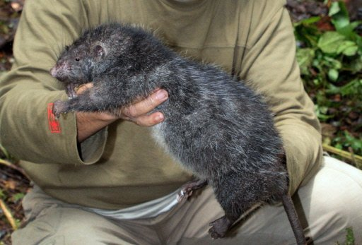 Images amusantes ou insolites Rat-ge10
