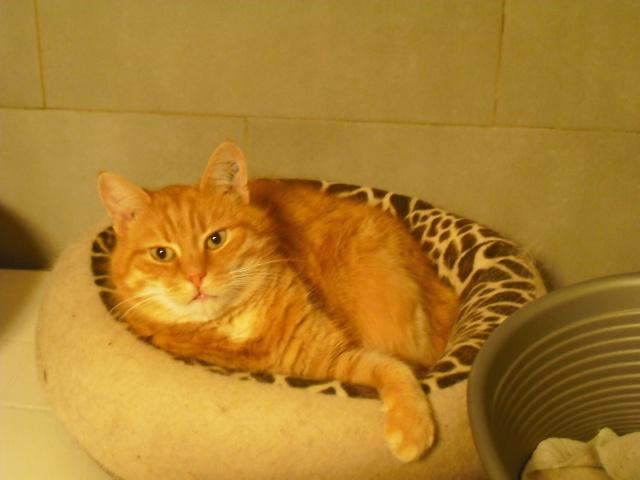 DARWIN, magnifique chat roux, né en avril 2006. Dscf5310