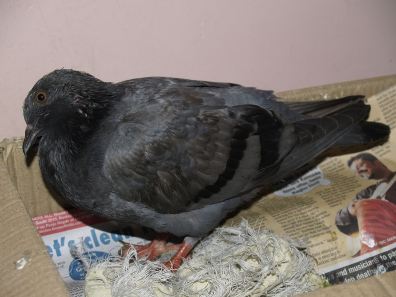 Rescued another pigeon, perhaps with PMV :( - Page 2 _a011714