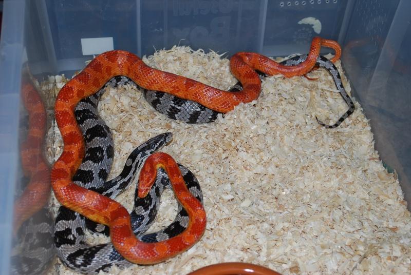 Serpent - Pantherophis guttatus Panthe10