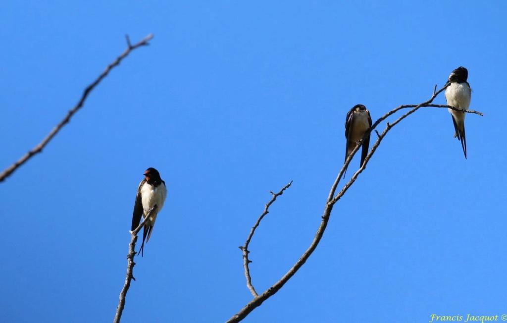 [Ouvert] FIL - Oiseaux. - Page 29 03153