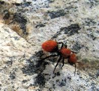 نمل النار Ant210