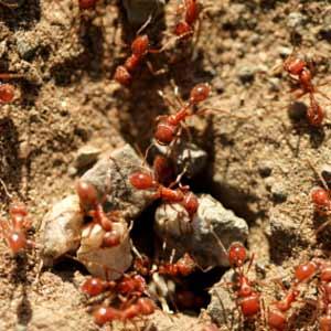 نمل النار How-to10